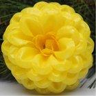Jiřina vosková pomponkovitá žlutá 4