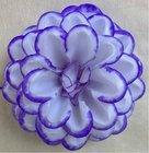Jiřina vosková pomponkovitá bílá, modrý okraj