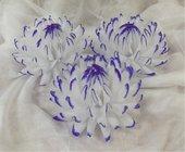 Jiřina vosková velká bílofialová