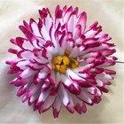 Jiřina vosková jehlicovitá růžová tmavě