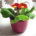 Šefc Květináč Primule 11 cm  Růžová tmavě
