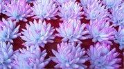 Jiřina vosková malá bílorůžová